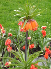 Kaiserkrone - Kaiserkrone, Frühling, Blumenbeet, Fritillaria, Liliengewächs, Glockenblüten, kronenartig, Blütenstand, Frühblüher