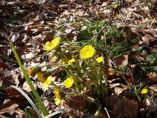 Huflattich - Frühblüher, Huflattich, Korbblütler, Heilpflanze, gelb, blattlos, einjährig