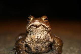 Frosch - Tiere, Kröte, Frosch, wechselwarme Tiere, Amphibie