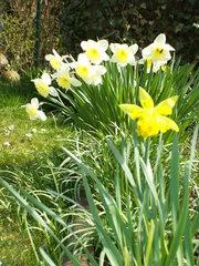 Narzissen - Frühling, Frühblüher, Zwiebelgewächs, blühen, Blüte, weiß, gelb, Narzisse, Osterglocke, Garten