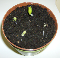 Zucchinikeimling - Keimling, keimen, Zucchini, Erde, Samenpflanze, Wachstum, Keimblatt, Trieb