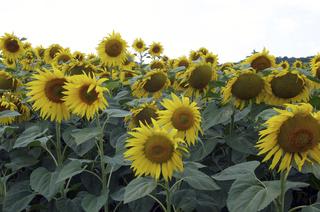 Sonnenblumen 1 - Sonnenblume, Herbst, Sonnenblumenfeld, gelb Korbblütler, viele