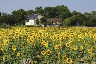 Sonnenblumen 2 - Sonnenblume, Herbst, Sonnenblumenfeld, Korbblütler, gelb