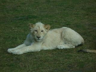 weißer Löwe # 2 - Safaripark, Löwe, Raubkatze, weiß, Jungtier, kuschelig, jung