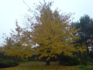 Kirschbaum - Herbst, Laubfärbung, Kirschbaum, Herbstlaub