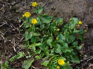 Dotterblume - Sumpfdotterblume, Hahnenfußgewächs, Sumpfpflanze, gelb, Dotterblume, Sumpf, dottergelb, gefährdete Art, Giftpflanze