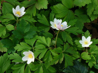 Buschwindröschen - Buschwindröschen, Frühblüher, Hahnenfußgewächs, weiß, Frühling, Blüte, Anemone, Waldboden