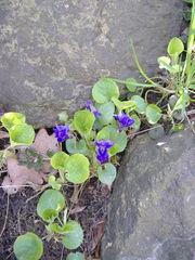 Veilchen - Veilchen, lila, blühend, Veilchengewächs