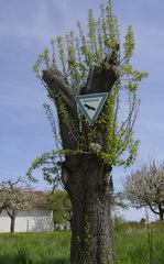 Naturdenkmal - Naturdenkmal, Baum, Denkmalschutz, Naturschutz, Landschaftselement, Einzelbaum, Schutz, Wissenschaft, Heimatkunde, Veränderungsverbot, Bundesnaturschutzgesetz