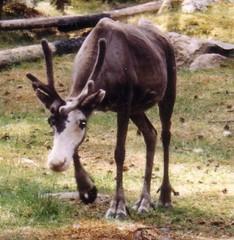 Rentier - Natur, Tier, Finnland, Rentier, schokofarben