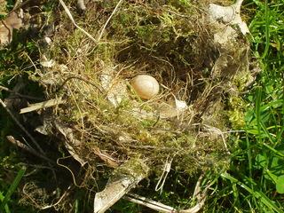 Nest einer Blaumeise mit Ei - Vogel, Meise, Blaumeise, Nestbau, Eier, Frühling, Brut, Gelege, Vogelnest, Vogelei