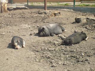 Hängebauchschweine - Schwein, Schlaf, Sonne, Mittag, Ruhe, Haustier, dick, Hängebauchschwein, Borsten, dunkel, faul, schlafen, Suhle, drei, Gehege