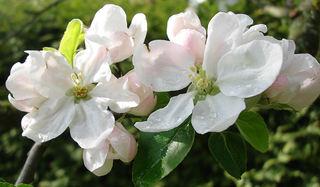 Apfelblüte nach dem Regen - Frühling, Baumblüte, Apfelblüte, blühen, weiß, Blüte, Tropfen, Regentropfen, Wassertropfen