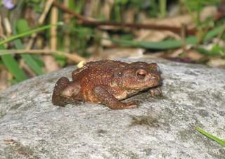 Erdkröte - Amphibien, Kröten, Erdkröte, Lurche