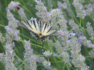 Schmetterling auf Lavendelblüten - Schwalbenschwanz, Biologie, Tiere, Lavendel, Blüte, Insekten, Schmetterling, blau, lila, Tarnung, Harmonie