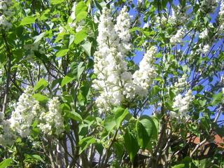 Flieder - Flieder, weiße Blüten, Duft, Lippenblütengewächs, Ölbaumgewächs, Heilpflanze, Zierpflanze, weiß