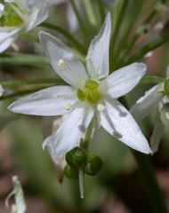 Bärlauch - Nutzpflanze, Bärlauch, Allium, Küchenkraut, Blüte, weiß, Gewürz, Heilpflanze