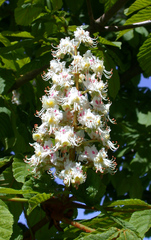 Kastanienblüte - Blüten, Blüte, blühen, Kastanie, Kerzen, Frühling, Gewöhnliche Rosskastanie, Aesculus hippocastanum, Gemeine Rosskastanie, Weiße Rosskastanie, Laubbaum