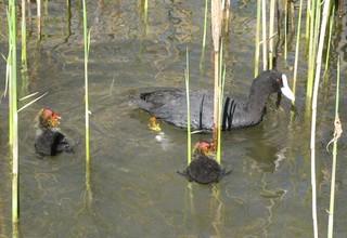 Junge Blässhühner #1 - Blässhuhn, Ralle, Wasservogel, Fütterung, Wasser, Brutpflege, Vogelfamilie, Familie, füttern, schwimmen, Wasser, Duckente, Jungtier
