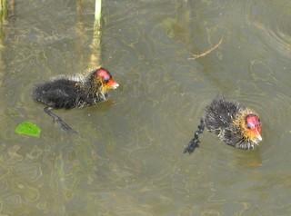 Junge Blässhühner #2 - Blässhuhn, Ralle, Wasservogel, Fütterung, Wasser, Brutpflege, Vogelfamilie, Familie, füttern, schwimmen, Wasser, Duckente