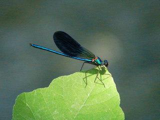 Libelle auf einem Blatt - Libelle, Sommer, fliegen, Flügel, Hautflügel, Biologie, Insekten, Gliederfüßer, Insekt, Insekt, Flügelpaar, Gewässer, Teich, Tarnung, Tümpel, See, Teich, Krka-Nationalpark, Kroatien