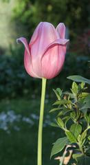 Tulpenblüte - Frühling, Frühjahr, Frühblüher, Tulpe, Blüte, Zwiebelgewächs, Tulipa, Liliengewächs, Zwiebelblume, Schnittblume, Blüte, rosa
