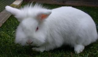Zwergkaninchen - Kaninchen, Haustier, Zuchttier, Tierkind, Jungtier, Deutsche Riesenkaninchen, kuschelig, Fell, schnuppern, Kindchenschema, weiß, Nagetier