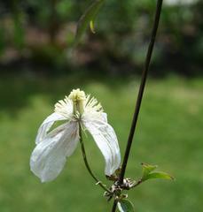 Clematis - abgeblüht - Clematis, Blüte, Garten, Kletterpflanze, Blume, ranken, Rankgewächs, abgeblüht, Waldrebe, weiß