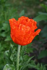Mohnblüte - Mohn, Blüte, Gartenblume, Blume, rot, Papaver, Kapselfrucht, Ölfrucht