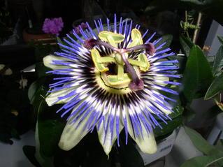Blüte der Passionsblume - Blüte, Passionsblume, blau, geöffnet, Symbole, Passiflora caerulea, Strahlenkranz, Kletterpflanze