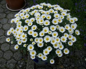 Margerittenbusch - Margerite, Korbblütler, Zierpflanze, Wiesenblume, Blume, Zweikeimblättrig, krautig