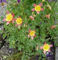 Akelei  - Akelei, Hahnenfussgewächs, Staubblätter, Blüte, rot, gelb, gespornte Blütenblätter