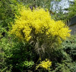 Ginster - Ginster, Schmetterlingsblütler, gelb, Zweige, rutenförmig, Strauch