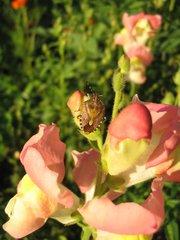 Schildwanze auf einem Löwenmäulchen - Blume, Garten, Wanze, Schildwanze, Räuberische Schildwanze, Häutungstier, Insekt, Sauger, Schädling, Fühler, Flügel