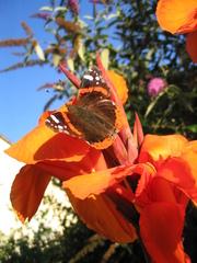 Schmetterling - Admiral, Tagfalter, Schmetterling, Blume