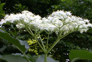 Holunder - blühend - Moschuskrautgewächs, Holunder, Sambucus caerulea, Strauch, Schirmrispe, Trugdolde, Dolde, Doldenrispe