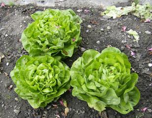 Kopfsalat - Salat, Kopfsalat, grüner Salat, Gartensalat, Korbblütler