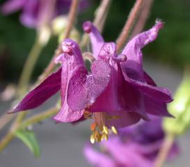 Akelei - Akelei, Hahnenfusßgewächs, Staubblätter, Blüte, blau, gespornte Blütenblätter, lila