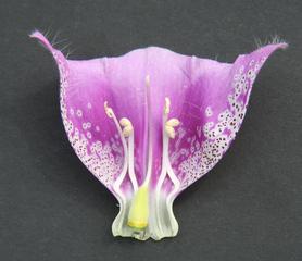 Fingerhut - Digitalis - Fingerhut, Giftpflanze, Blüte, Blume, Garten, Wegerichgewächs, Digitalis pupurea, krautig, Stempel, Staubgefäße