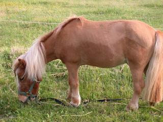 Shetlandpony  #1 - Pferde, Pferd, Pony, Weide, Shetland