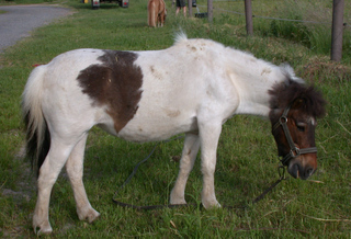 Shetlandpony  #2 - Pferde, Pferd, Pony, Weide, Shetland, gefleckt