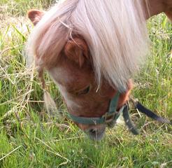 Shetlandpony  #3 - Pferde, Pferd, Pony, Weide, Shetland, Pferdekopf