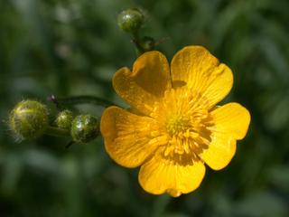 Hahnenfuß - Hahnenfuß, Wiese, Blume, Wiesenblume, Hahnenfußgewächs, Wald, Butterblume, gelb, giftig