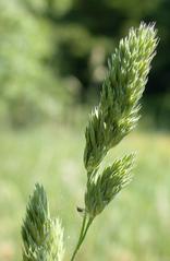 Gras #3  Knaulgras - Wiesenknäuelgras - Gras, Wiese, Feldrand, Wegrand, Halm, Dactylis glomerata