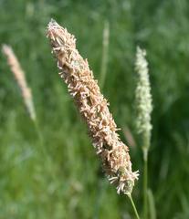 Gras #4  Lieschgras - Gras, Wiese, Feldrand, Wegrand, Halm, Ähre