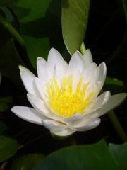 Weiße Seerose - Seerose, weiß, Blüte, Gartenteich, Teich, Wasserpflanze.