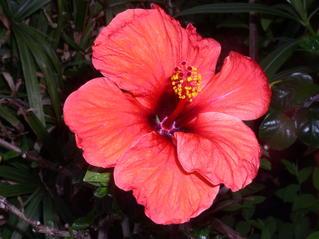 Rote Hibiskusblüte - Hibiskus, Eibisch, Malvengewächs, rot, Blüte, geöffnet, Zimmerpflanze
