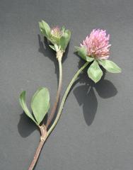 Klee - Trifolium pratense, Wiesenklee, Rotklee, Hülsenfrüchtler, Schmetterlingsblütler, Klee, Blätter, Blüte, Futterpflanze, Gründüngung, Dreifelderwirtschaft