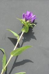 Glockenblume - Knäuelglockenblume - Pflanzen, Blumen, Blüten, blau, Glockenblume, Gartengewächse, Staubgefäße, Stiel, Stängel, Wiesenblume, Campanula glomerata