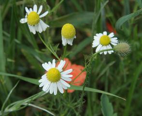 Kamille #1 - Matricaria recutita, Heilpflanze, Kamille, Kräutertee, Korbblütler, einjährig, krautig, Tee, ätherische Öle